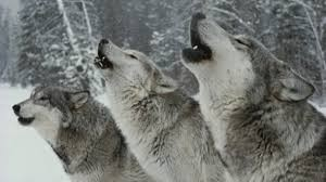 Wolves howling not used ironically.